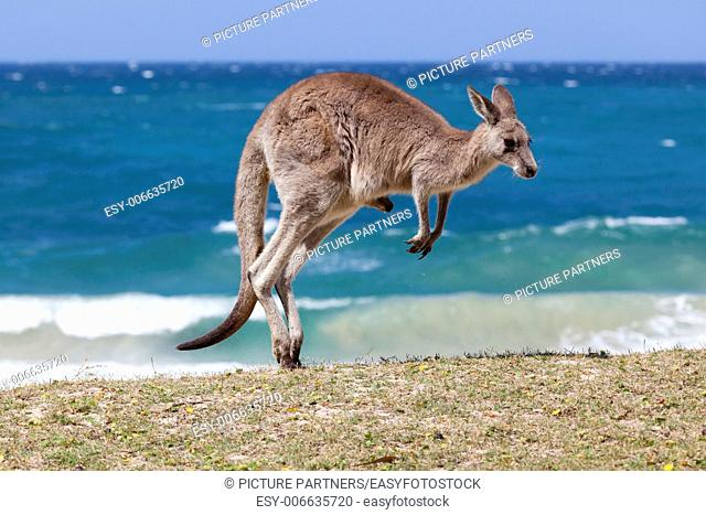 Jumping Red Kangaroo on the beach, Depot Beach,New South Wales, Australia