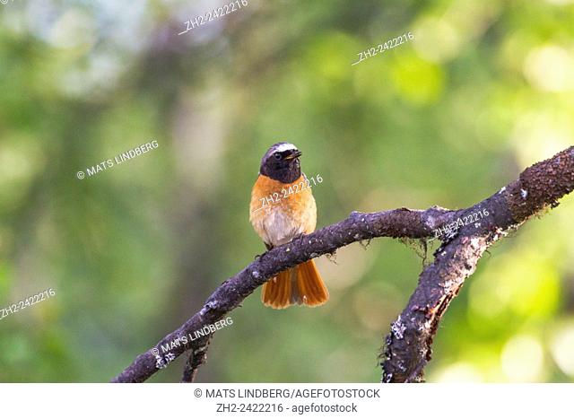 Common redstart, Phoenicurus phoenicurus, sitting on a branch of birch, Gällivare, Sweden