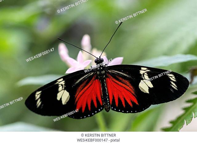 Postman butterfly in butterfly house