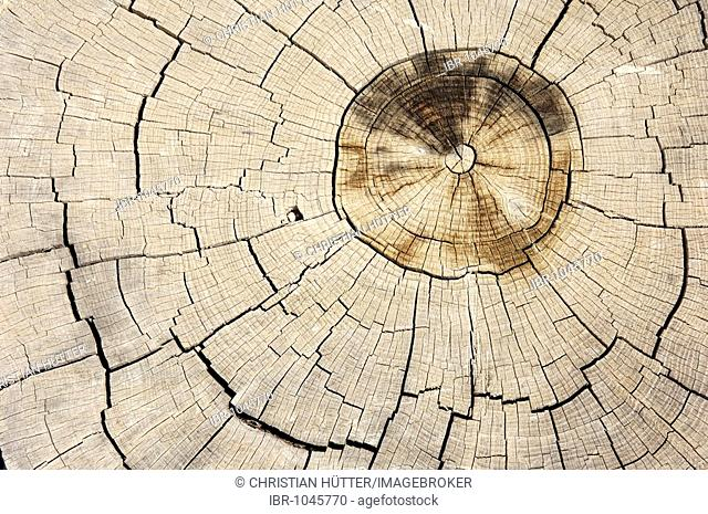 Mediterranean Cypress, Italian Cypress or Pencil Pine (Cupressus sempervirens), cross-section showing annual rings, Provence, Southern France, France, Europe