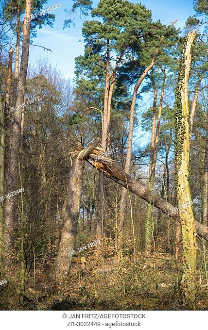 forest with uprooted tree in Achterhoek, Gelderland, Holland