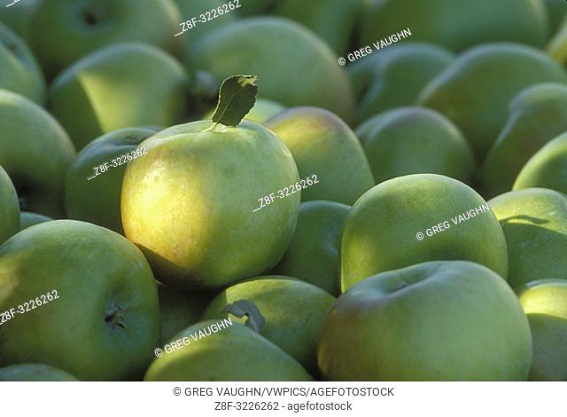 Gravenstein apples, just harvested, at Mt. Hood View Orchards, Hood River Valley, Oregon