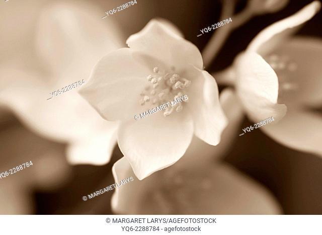 Jasmine blossom, selective focus in monochrome
