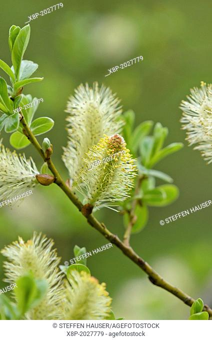 Grey willow (Salix atrocinerea syn. Salix cinerea subsp. oleifolia)