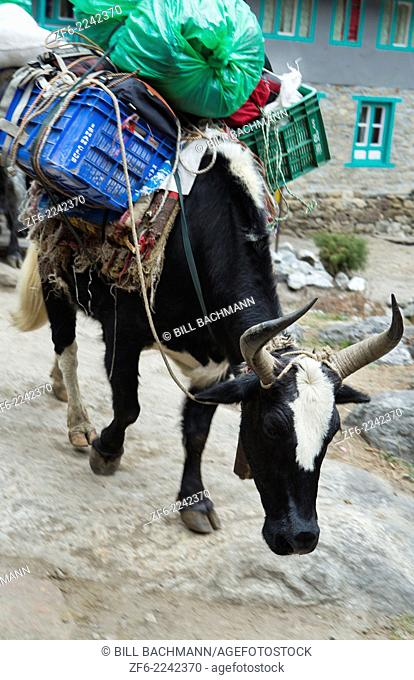 Nepal Himalayas Dzo yaks being herded through the village of Bengkar Solukhumbu cow yak remote Mt Everest
