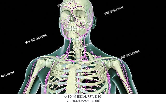 An animation of the thoracic duct. The camera zooms into the thorax and the position of the duct relative to the skeleton is shown