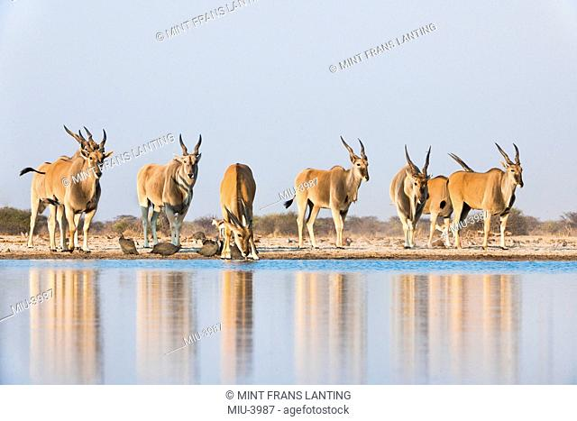 Elands at waterhole, Taurotragus oryx, Etosha National Park, Namibia