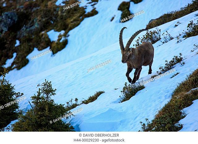 The Alps, mountains, the Bernese Oberland, Europe, Niederhorn, Switzerland, Capricorn, mammals, animals, wilderness, wild animals