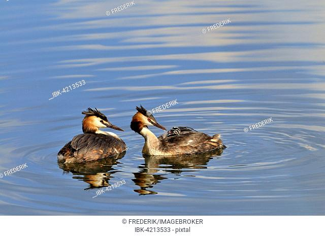 Great crested grebe (Podiceps cristatus), adult feeding chick with a feather, North Rhine-Westphalia, Germany