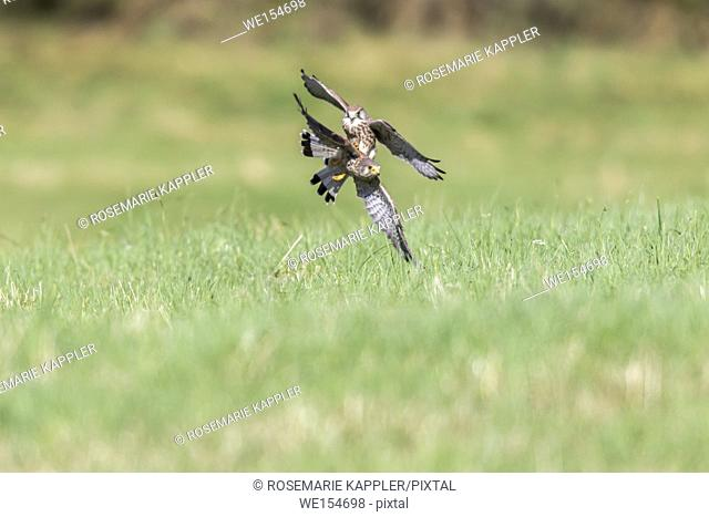 Germany, Saarland, Bexbach - Two common krestel in flight over a green meadow