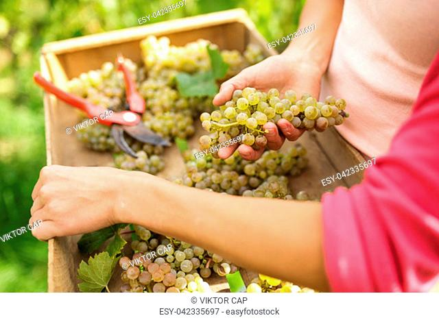 Hands of a female vintner harvesting white vine grapes (color toned image)