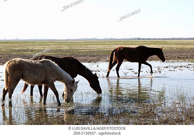 wild horses in doñana national park.spain