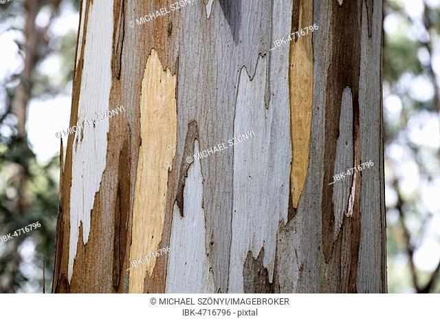 Detail, bark of eucalyptus tree (Eucalyptus), Australia