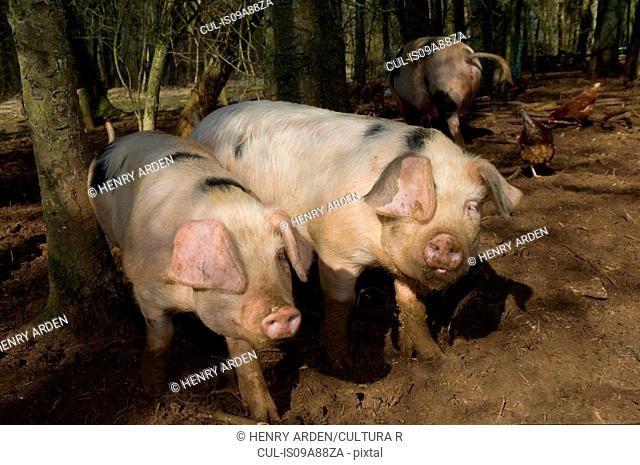 Three pigs walking in mud on farm