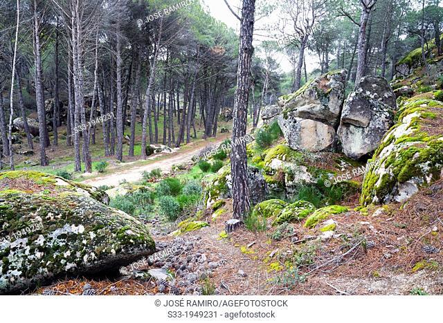 Road in the Valdelavieja pinewood. Cadalso de los Vidrios. Madrid. Spain