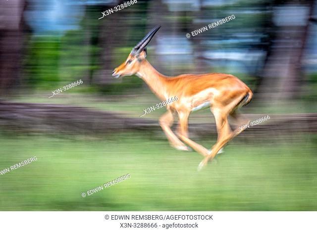 A Maasai Mara Impala (Aepyceros melampus) runs fast through the grass in the Maasai Mara National Reserve, Kenya