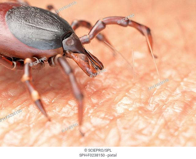 Illustration of a tick crawling on human skin