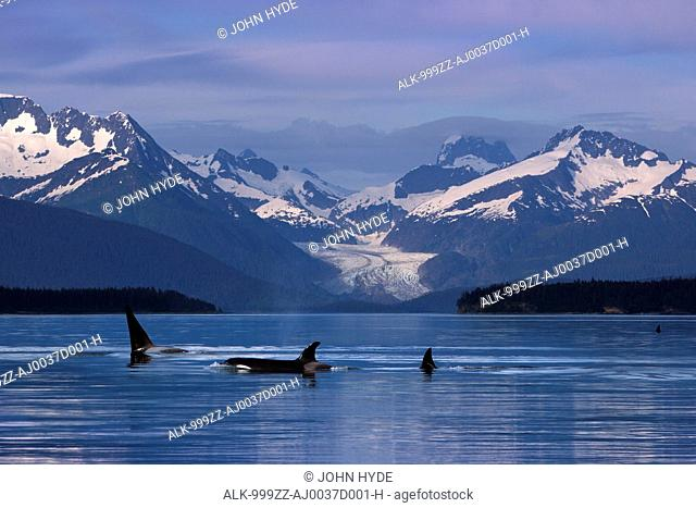 A group of Orca surface in the calm waters of Lynn Canal with Herbert Glacier and the Coastal Range in the background, Inside Passage, Tongass National Forest