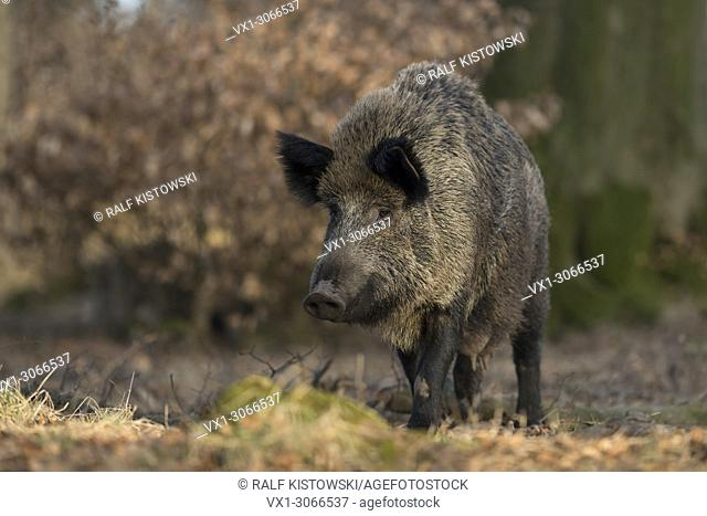 Wild boar ( Sus scrofa ), adult female with swollen teats, in natural surroundung of a broadleaf forest, Europe