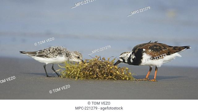 Ruddy Turnstone Arenaria interpres and Sanderling Calidris alba feeding on seaweed, Rio Grande Valley, Texas