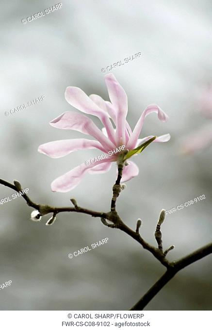 Magnolia, Magnolia x loebneri 'Leonard Messel'