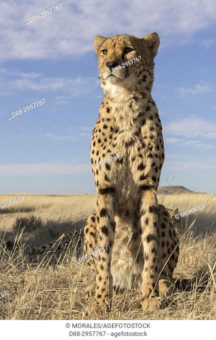 South Africa, Private reserve, Cheetah (Acinonyx jubatus), sitting, resting