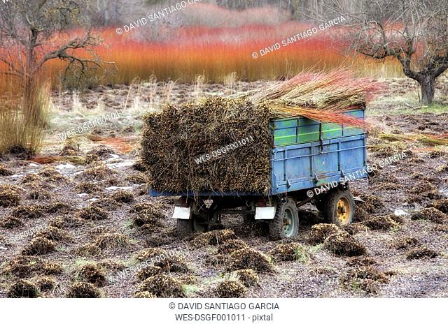 Spain, Cuenca, wicker harvest in Canamares in autumn