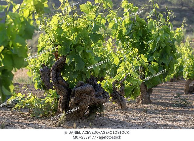 Summer vine around San Asensio area, La Rioja, Spain. Europe