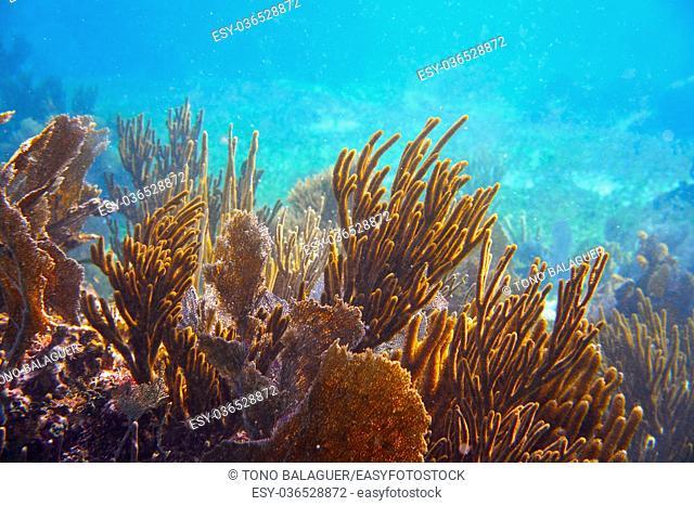 Gorgonian coral Great Mayan Reef in Riviera Maya of Caribbean Mexico