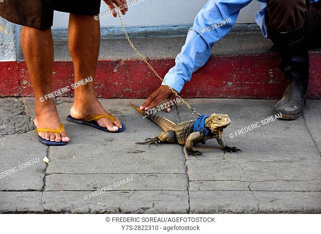 Iguana, Santa Clara, Cuba