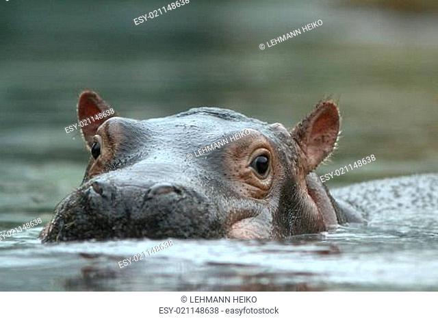 Das Flusspferd (Hippopotamus amphibius)