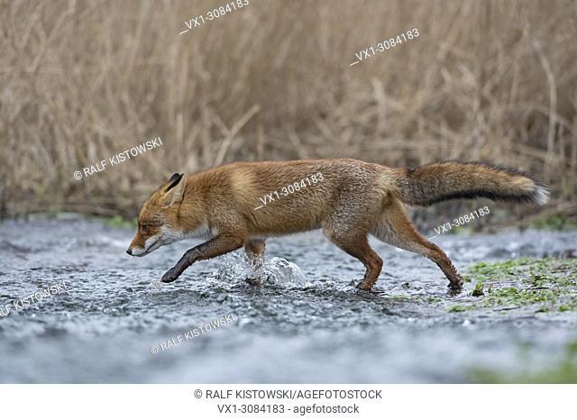 Red Fox ( Vulpes vulpes ) crossing a little creek, walking through flowing water, wildlife, Europe