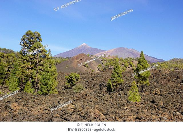 Canary pine (Pinus canariensis), cinder cone Chinyero and lava stones, Teide and Pico Viejo in background, Canary Islands, Tenerife, Teide National Park