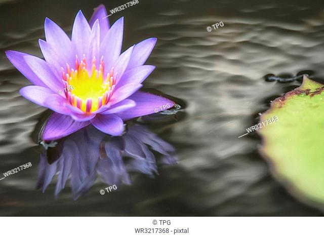Waterlily on the water