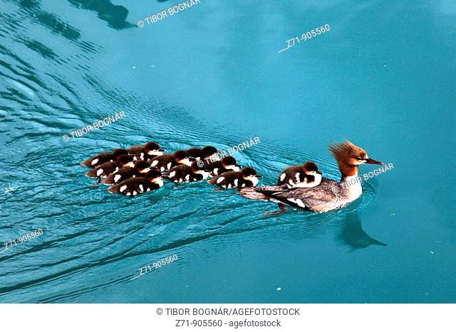 Canada, BC, Yoho National Park, common merganser, female with ducklings