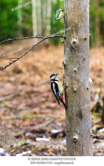 Great Spotted Woodpecker sitting on a tree in a spring forest