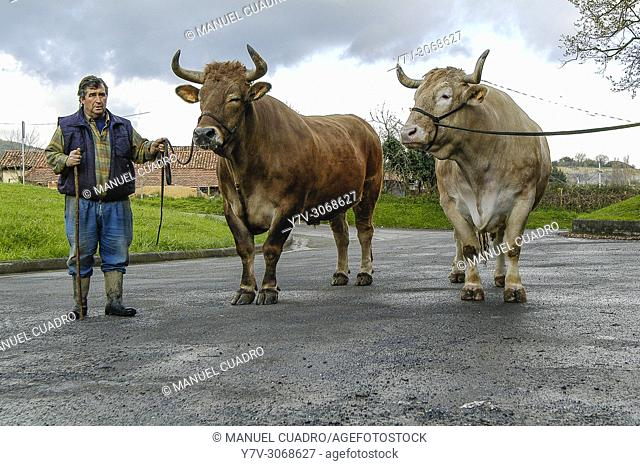 Basque Ox, Basque country, Spain. The Basque ox represents the elitist particularity within the culture of meat in the Basque Country