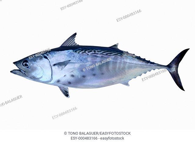 Little tunny catch tuna fish Atlantic seafood