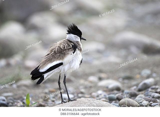 Asia, India, Uttarakhand, Jim Corbett National Park, River lapwing (Vanellus duvaucelii)