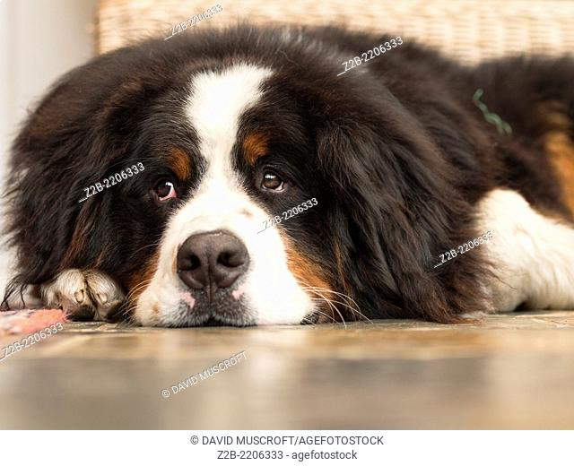 A young Bernese mountain dog