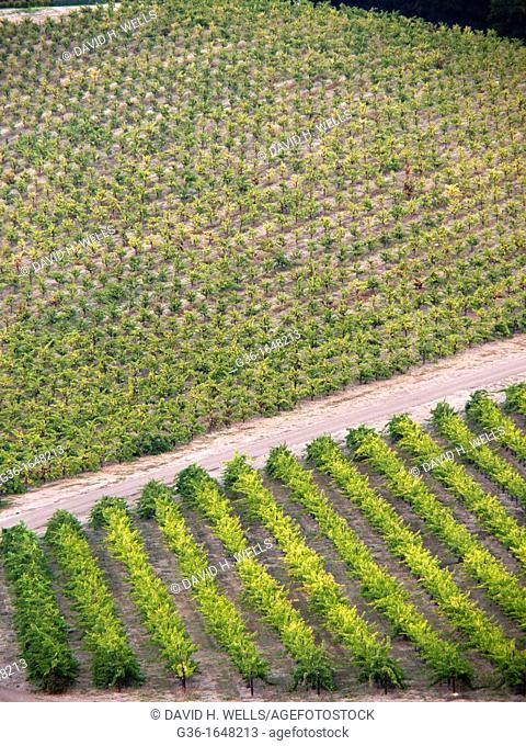 Rows of grapes in a vineyard in Paso Robles  California, United states