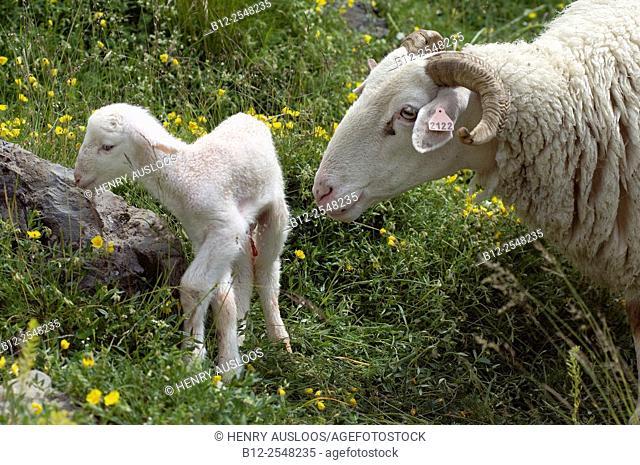 Sheep (Ovis aries), Basco-Bearnaise, with lamb just born, Pyrenees, France