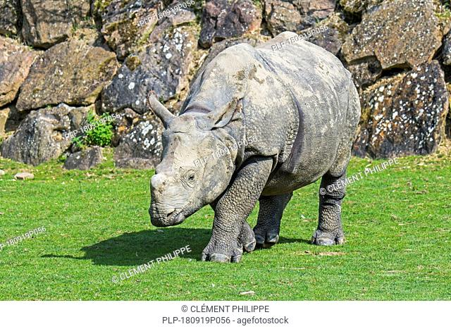 Indian rhinoceros (Rhinoceros unicornis) young / juvenile with little horn at the zoo ZooParc de Beauval, France