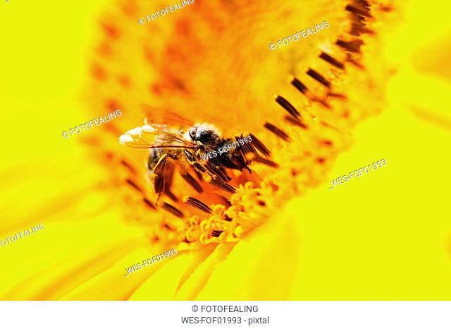 Germany, Bavaria, Honey bee Apis mellifera on sunflower Helianthus sp., close-up