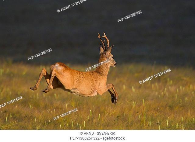 Roe deer (Capreolus capreolus) roebuck jumping through cornfield while fleeing
