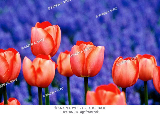 Red tulips with hyacinths behind, the Netherlands