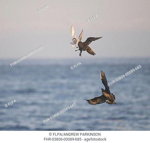 Arctic Skua Stercorarius parasiticus adult pair, in flight, chasing Arctic Tern Sterna paradisaea for catch, Shetland Islands, Scotland, july