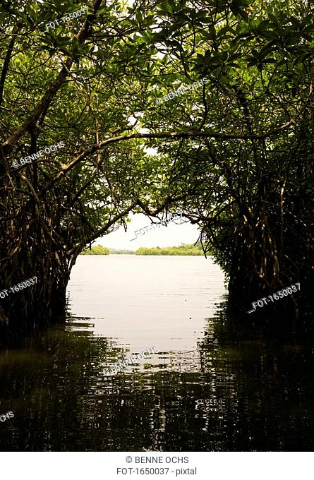 Trees growing over river to form arch, Sri Lanka