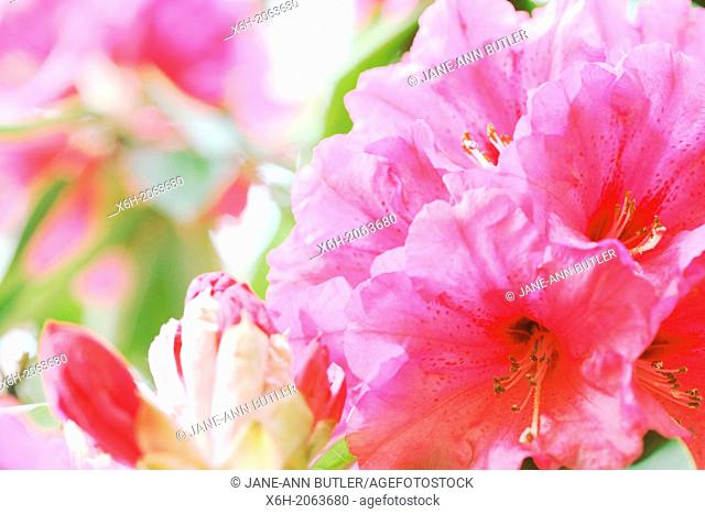 sun-kissed cluster of pink rhododendron blooms