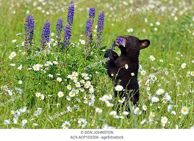 Black bear (Ursus americanus) Cubs, captive raised, Minnesota wildlife Connection, Sandstone, Minnesota, USA